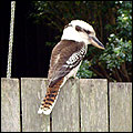 Australian bird Kookaburra